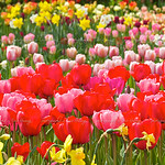 Skagit Valley Tulips :