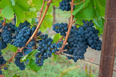 Pinot Noir grapes ready for picking