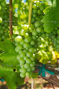 Viognier grapes at veraison
