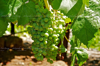 Petite Verdot grapes at veraison