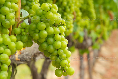 Chardonnay grapes at veraison