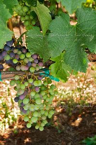 Merlot grapes at veraison